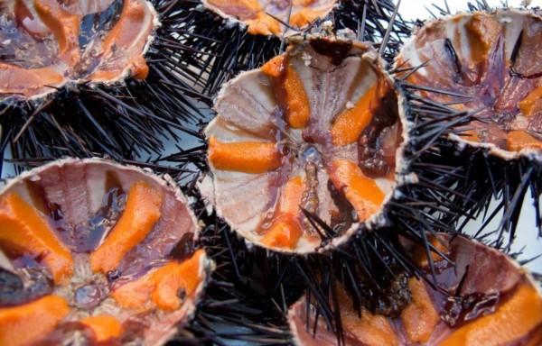 Sea Urchin Gonads