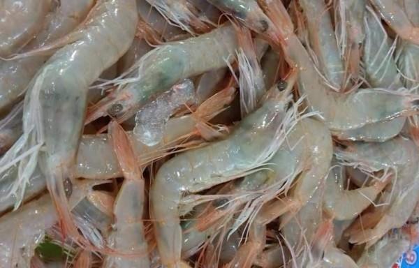 White Shrimps